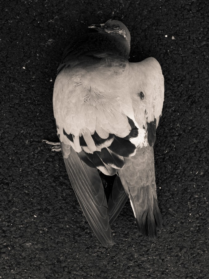 2016-pigeon-death-is-beauty-project-unpublished-jpg